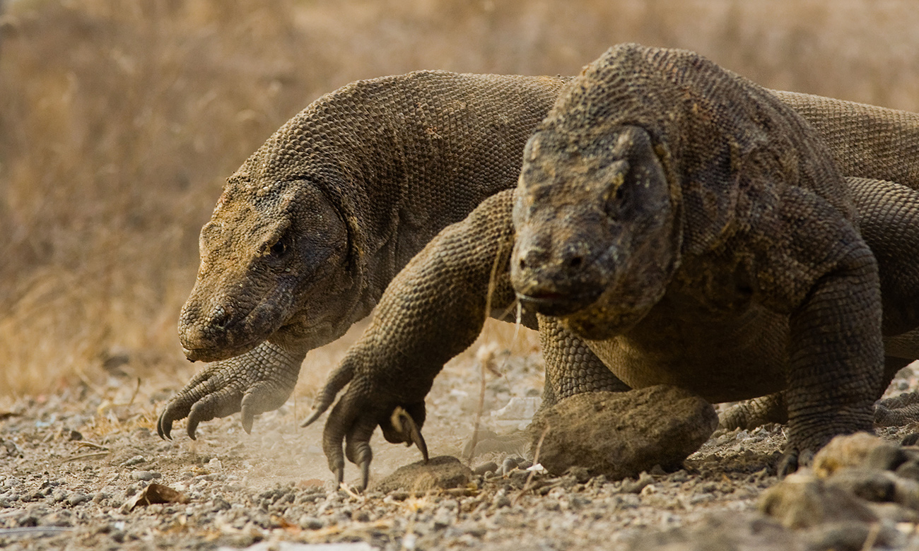 KOMODO NATIONAL PARK – IN SEARCH OF THE LAST LIVING DINOSAUR