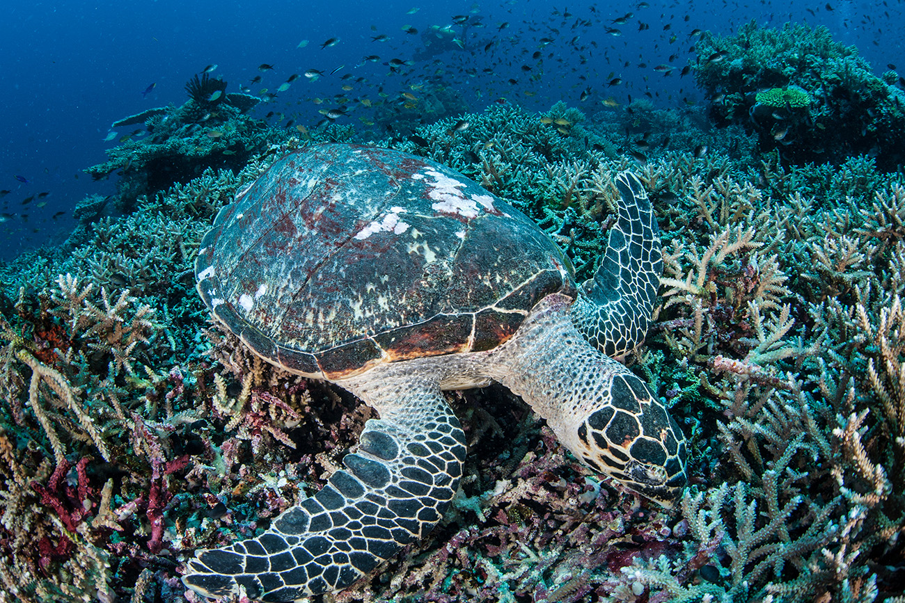 Gili Island, diving with the giant sea turtles