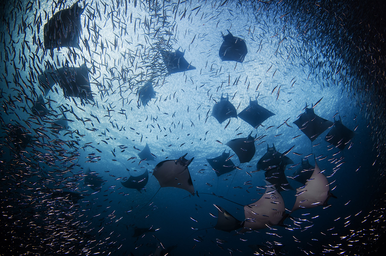 Cendrawasih Bay, diving with manta rays
