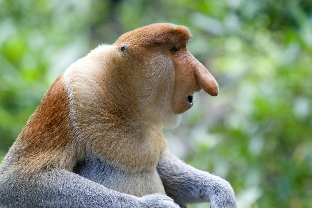 Brunei. Pulau Ranggu, the rare Proboscis Monkey